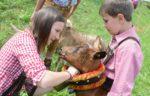 desmontegada-mucche-fiemme
