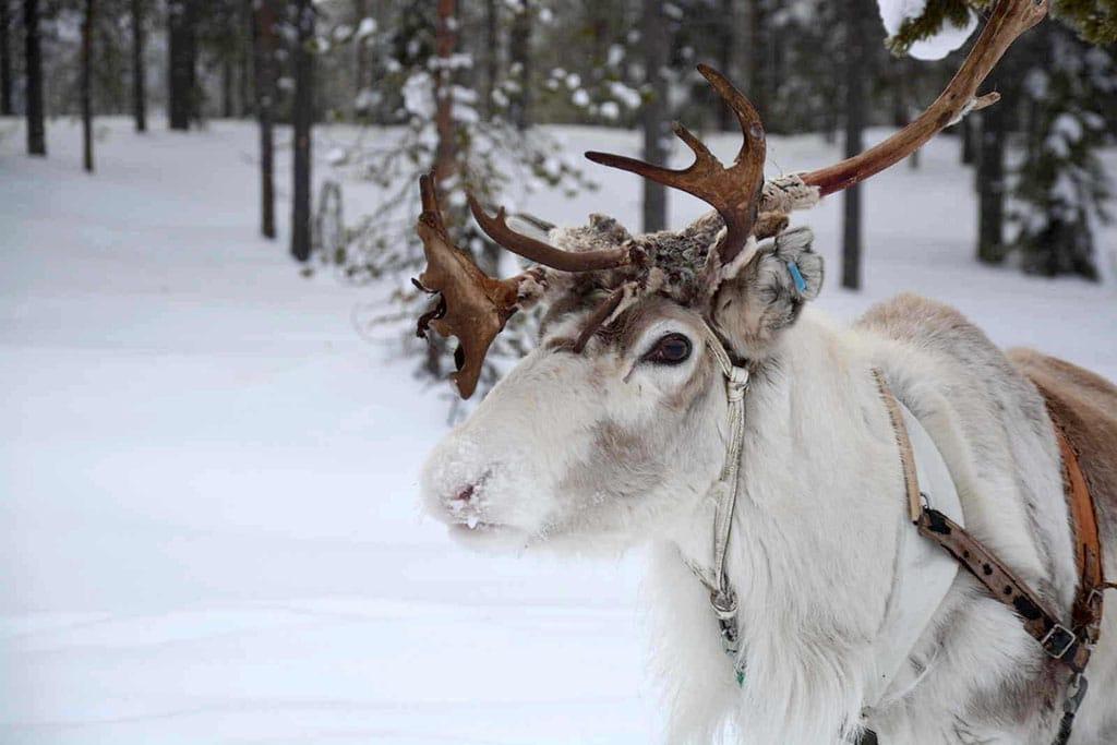 Viaggio in Lapponia con i Bambini, Salla, Finlandia renne