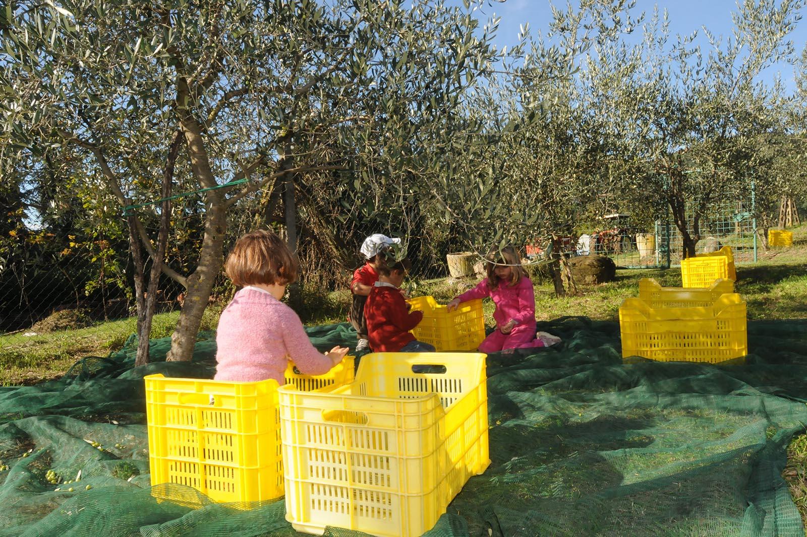 Frantoi aperti in Umbria, raccolta delle olive