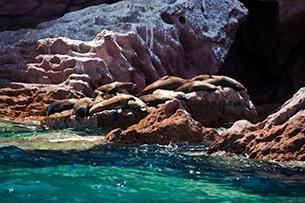 Baja California foche