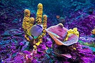 Baja California barriera corallina