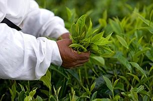 Mauritius con bambini, piantagioni di tè