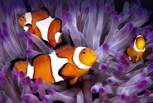 Pin animali barriera coralli pesci pagliaccio foto sfondi for Pesce pagliaccio foto